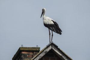 Bocian stojący na dachu domu dumnie spogląda przed siebie.