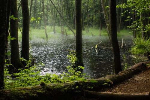 Krople deszczu rozbijają się w wodach rozlewiska leśnego rzeki Łyny.