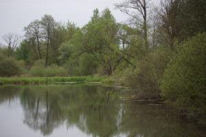 Rozlewisko na rzece Radomce zarastające zielenią.